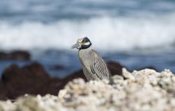 Adult Yellow-crowned Night-Heron Nyctanassa violacea Perched on a Rock. Adult Yellow-crowned Night-Heron Nyctanassa violacea Perched on Rocks Near the Ocean in Royalty Free Stock Image