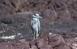 Adult Yellow-crowned Night-Heron Nyctanassa violacea Perched on a Rock. Adult Yellow-crowned Night-Heron Nyctanassa violacea Perched on Rocks Near the Ocean in Stock Photography