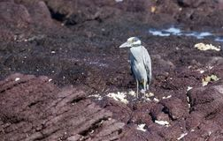 Adult Yellow-crowned Night-Heron Nyctanassa violacea Perched on a Rock. Adult Yellow-crowned Night-Heron Nyctanassa violacea Perched on Rocks Near the Ocean in Stock Image
