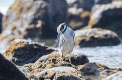 Adult Yellow-crowned Night-Heron Nyctanassa violacea Perched on a Rock. Adult Yellow-crowned Night-Heron Nyctanassa violacea Perched on Rocks Near the Ocean in Stock Photos
