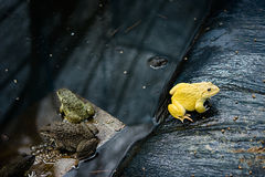 Adult yellow frog eating food in Thailand`s frog farm, Concept Closeup.  royalty free stock image