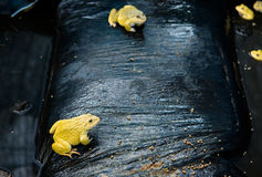 Adult yellow frog eating food in Thailand`s frog farm, Concept Closeup.  stock image