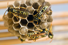 Adult yellow jacket wasps and larvae on a large nest. Spain Stock Photos