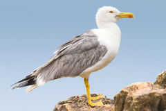 An adult of yellow legged-gull / Larus cachinnans. An adult of yellow legged-gull on the rock / Larus cachinnans Royalty Free Stock Photography