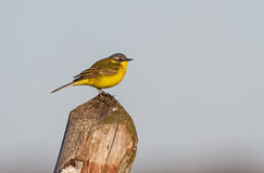 An adult Yellow wagtail on a post Royalty Free Stock Photos