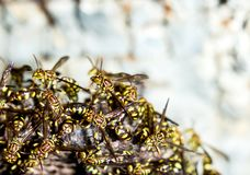 Adult yellow wasps. On the hornet`s nest Royalty Free Stock Photos