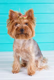 Adult Yorkshire terrier on blue fence Stock Image