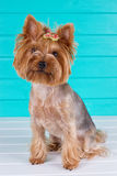 Adult Yorkshire terrier on blue fence Royalty Free Stock Photos