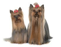 Adult yorkshire terrier Stock Photo