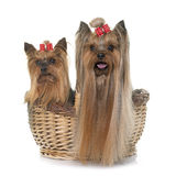 Adult yorkshire terrier Stock Image