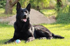 An adult young big black dog German Shepherd lies on green grass in the garden or park at sunny day in the Czech Republic and ke stock image