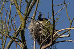 Adult and young cormorant in nest - Phalacrocoracidae Stock Photo