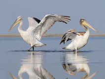 Adult and young Dalmatian Pelicans Stock Photo