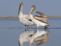 Adult and young Dalmatian Pelicans Royalty Free Stock Photography