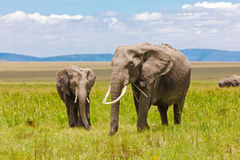 Adult and Young Elephants eating Stock Images