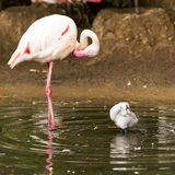 Adult and young flamingo Royalty Free Stock Images