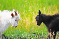 Adult and young goats fighting with their heads Royalty Free Stock Photos