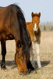 Adult and young horse and foal Stock Image