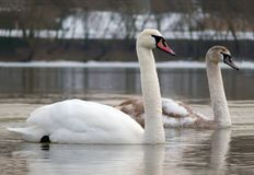 Adult and young Mute Swans swims together on the river surface royalty free stock photos