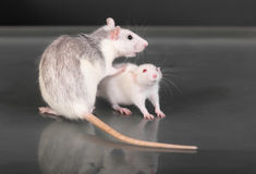 Adult and young rats Stock Photo