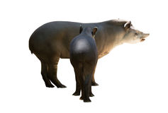 Adult and young tapirs. Isolated Stock Photo