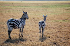 An adult and young zebra stock photo