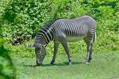 Adult Zebra Stock Photo