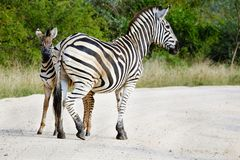 Adult African zebra and colt in the wild stock photography
