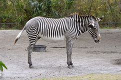 Adult Zebra Mare Royalty Free Stock Image