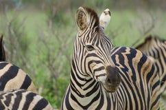 Adult Zebra portrait. Adult Plains Zebra Equus quagga, Kruger National Park, South Africa royalty free stock image
