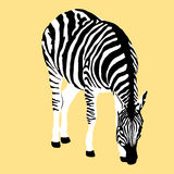 Adult zebra realistic Royalty Free Stock Photo