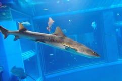 Adult zebra shark Stock Image