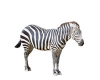 Adult Zebra on White Royalty Free Stock Photos