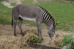 Adult zebra in zoo Royalty Free Stock Photo