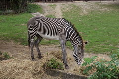 Adult zebra in zoo Stock Images