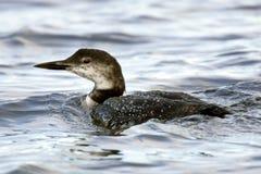 Adulte commun de Loon dans le plumage de l'hiver photo stock