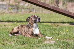 Adulte de chien d'Amstaff Photos libres de droits