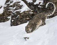 Adulte de léopard de neige Images stock