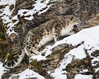 Adulte de léopard de neige Photographie stock libre de droits