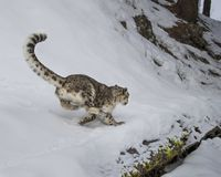 Adulte de léopard de neige Image libre de droits