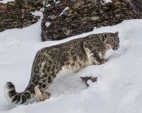 Adulte de léopard de neige Images libres de droits