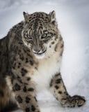 Adulte de léopard de neige Photos libres de droits