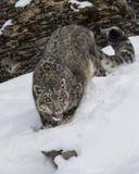 Adulte de léopard de neige Photographie stock