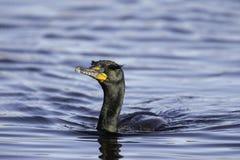 adulte Double-crêté d'élevage de Cormorant Images libres de droits