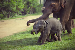Adulte et éléphant de deux bébés Photo stock