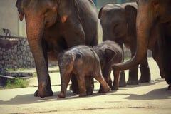 Adulte et éléphant de deux bébés Images libres de droits