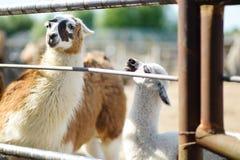 Adulte et lama de bébé derrière la barrière Image stock