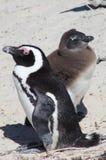 Adulte et pingouins africains juvéniles Images libres de droits