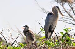 Adulte et poussin de héron de grand bleu criant dans le nid Photographie stock