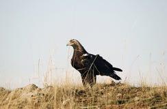Adulte impérial d'aigle image libre de droits
